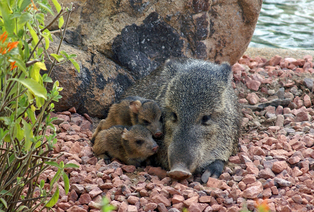 javalina mom and babies